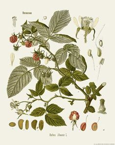 [ Botanical Print: Rubus idaeus, American Red Raspberry ] illustrated by Franz Eugen Kohler (c. 1883-1914). For sale (or admiration). ~ on Missouri Botanical Garden Press mbgpress.info