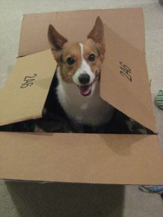 It's just my 'corgi in a box'!