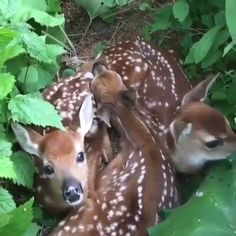 Group of fawns all cuddled up together is part of Cute animals 500 points Amazing Animals, Animals Beautiful, Beautiful Beautiful, Cute Animal Videos, Cute Animal Pictures, Cute Funny Animals, Cute Baby Animals, Cute Creatures, Beautiful Creatures