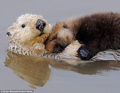 His mother - a rare white otter - ended up having to balance her four-month-old babe on her belly after he nodded off during suckling in the water.