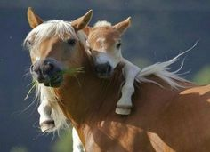 mother horse and foa