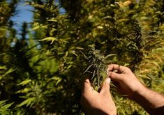 Authorities seized more than 300 marijuana plants on Thursday, after a monthlong investigation. #cannalovers #cannabis #canna #welovecannabis #lovecanna