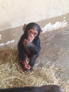 Thabu - Photo by Marc Cronje at The Jane Goodall Institute, South Africa... 'Chimp Eden'