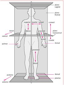 The body in situ anatomical correct position when studying anatomy. – Body Positivity - Agli The body in situ anatomical correct position when studying anatomy. Human Body Anatomy, Human Anatomy And Physiology, Muscle Anatomy, Medical Anatomy, Medical Coding, Medical Terminology, Med Student, Nursing Students, Massage Therapy