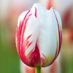 Tulip 'Happy Generation'