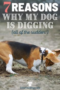 If your dog suddenly started digging holes for no apparent reason, there are actually a few causes that might explain this annoying canine behavior. Veterinary Technician Amber LaRock explains why the behavior starts, and how you can manage it. #dog #doglove #dogs Dog Hand Signals, German Shepherd Training, Digging Holes, Puppies Tips, Potty Training Tips, Dog Facts, Dog Items, Dog Activities, Veterinary Technician