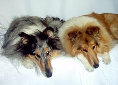 Blue Merle and a Sable Rough Collies.  Charcoal and