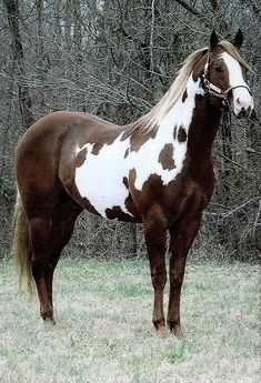 The American Paint Horse is one of the most highly valued horse breeds in the US.