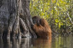 """OCTOBER 5, 2017RIVER CROSSING  In Indonesia's Tanjung Puting National Park, a male orangutan crosses a river. Your Shot photographer Jayaprakash Joghee Bojan stood in chest-high water to take this picture. He explains that orangutans typically avoid water, especally in situations like this one, where crocodiles may be present. But, he says, """"rapid palm oil farming has depleted their habitat and when pushed to the edge these intelligent creatures have learnt to adapt to the changing…"""
