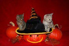 Halloween Kittens! :)