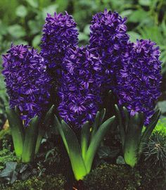 hyacinth - the perfume of my grandmother's spring garden was redolent of hyacinths