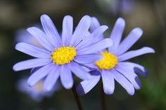 Aster---September birth flower.