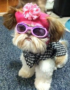 Shih Tzu, Maddie, swagging that outfit ... check out that houndstooth shirt! #funnydogshirts #shihtzu