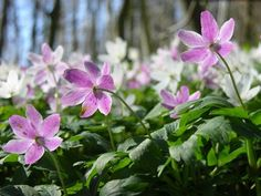 MN Flower - Wood anemone (Anemone nemorosa) - Full to partial shade, dry to mesic soil/loam type. Bloom May to June