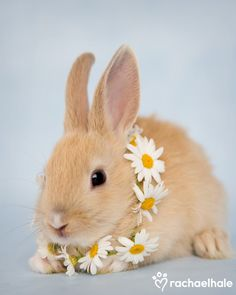 Primrose (Dwarf Rabbit) - A little Primrose amongst the daisies  (pic by Rachael Hale)