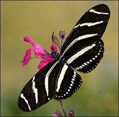I ❤ butterflies . . . Tropical butterfly- Notice the strong contrast between black and white, meant to attract a mate more easily.