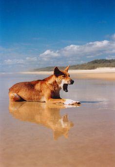 "earthandanimals: ""Dingo yawning Fraser Island, Queensland Photo by Brendan Waites "" Reptiles, Mammals, Animals Beautiful, Cute Animals, African Wild Dog, Fraser Island, Wolf, Australian Animals, Wild Dogs"