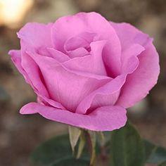 Rosier 'The Mac Cartney rose®' Meizeli