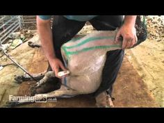 Want to learn how to shear a sheep?  This video shows the holds and order for every strike.  Color crayon makes it easy to follow.
