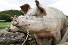 Overlæge: Positivt med antibiotika-frie svin til amerikanerne - men hvad med danskerne?