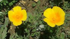 Dedales de oro, las flores del tren.