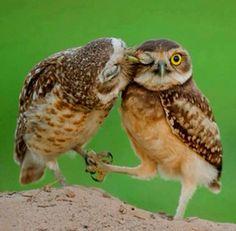An owl couple