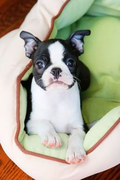 What a DOLL! - http://bostonterrierworld.com/what-a-doll/