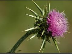 Silibinin, a polyphenolic flavonoid also known as silybin, is the major biologically active compound of milk thistle, a plant that has recently been the subject of many clinical trials and medical studies due to the properties it exerts and the ability of some of the active constituents found in it, as Silibinin, to be used to treat affections and ailments, being an effective chemo-preventive agent in various types of cancer, suppressing cancer cell growth and inhibiting colon cancer