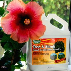 How to get rid of white flie- Hidden Valley Hibiscus ~ Tree & Shrub with Safari