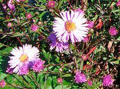 Aster novi-belgii 'Autumn Rose'
