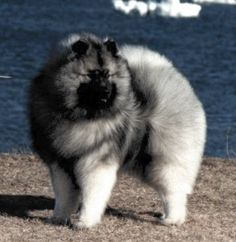 Keeshond / keeshonden / Chien Loup / German Spitz / Deutscher Wolfspitz / Wolfspitz (Similar to Großspitz, Mittelspitz, and Kleinspitz) #Puppy #Dogs