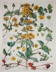 1910 Botanical Print by H. Isabel Adams Primrose by PaperPopinjay, $15.00