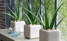 Aloe Vera Plant in Action! The Aloe Vera plant is marvelous, its health benefits are many.