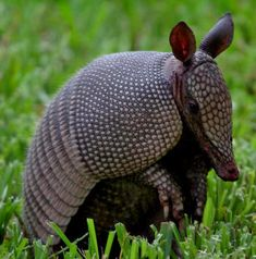 Armadillos are so cute! They are my favorite! I saw so many in Florida!