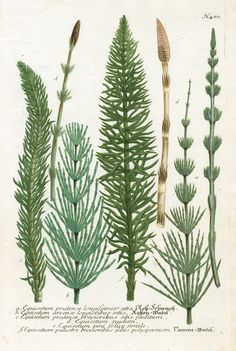 Horsetail, Equisetum arvense from Johann Weinmann Antique Prints Protea and Cactus 1745 Vintage Botanical Prints, Botanical Drawings, Antique Prints, Botanical Art, Vintage Prints, Vintage Botanical Illustration, Illustration Botanique, Plant Illustration, Flora Und Fauna