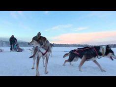 Travelpello tourism video: Husky dog rides and husky excursions in Pello Lapland Finland - huskies and safaris in Finnish Lapland. Pello is a unique tourism . Husky, Lapland Finland, Arctic Circle, Safari, Tourism, Dogs, Animals, Turismo, Animaux