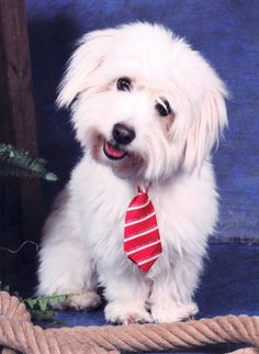 Coton de Tulear: Beau from Holland! Baby Dogs, Pet Dogs, Doggies, Cute Puppies, Dogs And Puppies, Coton De Tulear Dogs, Animals And Pets, Cute Animals, Cute Dog Pictures