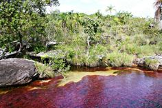 Caño Cristales, Colombia, gets its red color from the  rare Macarenia clavígera plant.