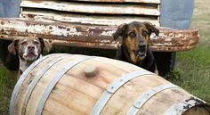 Dogs, Wineries and Walla Walla, Winery Dogs of Washington, Walla Walla dog hotels, pet friendly lodging, dog hikes...