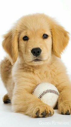 The traits we respect about the Outgoing Golden Retriever Puppy Chien Golden Retriever, Golden Retrievers, Golden Retriever Training, Positive Dog Training, Training Your Dog, Cute Puppies, Dogs And Puppies, Puppy Obedience Training, Easiest Dogs To Train