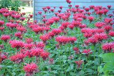 Bee balm are a great garden filler and blooms around the 4th of july