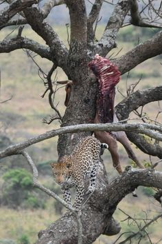Shark diving Safaris in South Africa and Mozambique, visits to Game Parks and introduction to Zulu culture Shark Diving, South Africa, Safari, Places To Visit, Park, Animals, Animales, Animaux, Parks