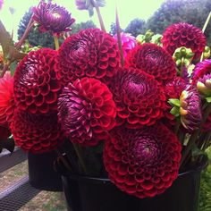 Cornell #dahlias a perfect shade of  red #flowerfarmer #slowflowers by junesblooms