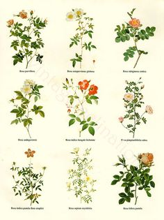 Vintage BOTANICAL Chart Print REDOUTE ROSES 18 varieties flower illustrations, perfect to frame