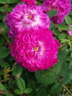 Pompon de Bourgogne ~ Centifolia Rose