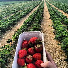 """No caminho para #ettlingen a 6km de Karslruhe tem essa plantação de morangos onde cada um pode ir com sua certinha ou potinho e pegar quantos morangos quiser e pagar pelo peso depois. Legal nao? ❤️🍓🍓🍓❤️ essa """"cumbuca"""" custou 1,20€ 1, Instagram, Strawberry Patch, Jars, Destinations"""