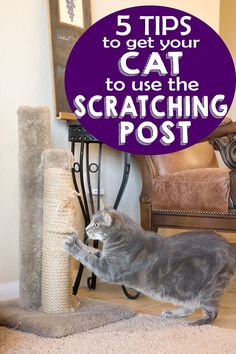 Cat Training Scratching Kitty scratching on the furniture? These five tips on how to get your cat to use the scratching post are just what you need! Cat Care Tips, Pet Care, Pet Tips, Crazy Cat Lady, Crazy Cats, Cat Towers, What Cat, Cat Scratching Post, Cat Scratcher