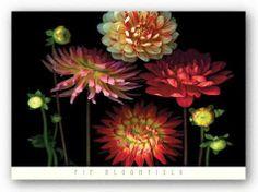 Dahlia Garden Art Print Art Poster Print by Pip Bloomfield, 36x26