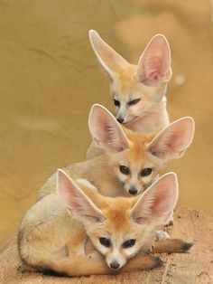 "animalworld: "" Tower of FENNEC FOXES - by request Vulpes zerda ©Joachim S. Müller The fennec fox (Vulpes zerda) is a small nocturnal fox found in the Sahara of North Africa. Its most distinctive feature is unusually large ears. The name ""fennec"". Nature Animals, Animals And Pets, Baby Animals, Funny Animals, Cute Animals, Strange Animals, Wild Animals, Desert Animals, Zorro Fennec"