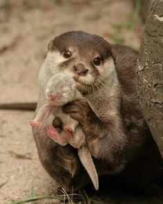"""Congrats!"" said the doctor otter- as he handed the baby to the proud mother. -_- <3"